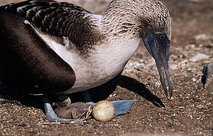 Blue-footed booby (Sula nebouxii); Galapagos Islands, Ecuador  © Martin Harvey / WWF