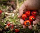 Companies must switch to sustainable palm oil today.